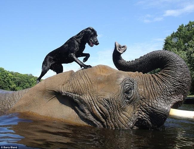 Ελέφαντας παίζει με λαμπραντόρ [video]