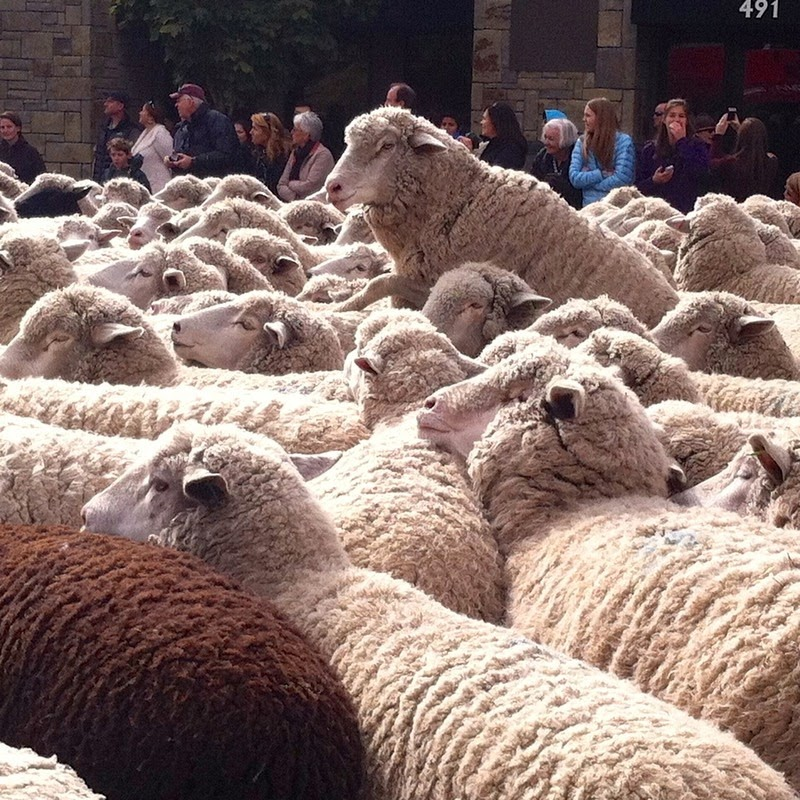 trailing-of-the-sheep-1