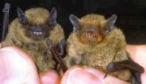 Amazing Pictures of Animals, Photo, Nature, Incredibel, Funny, Zoo, Common pipistrelle, Mammals, Alex (4)