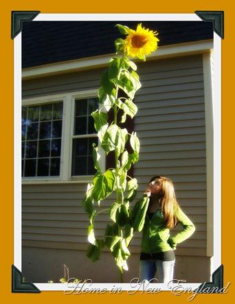 sunflower ash