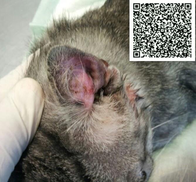 Гематома на ухе у котов