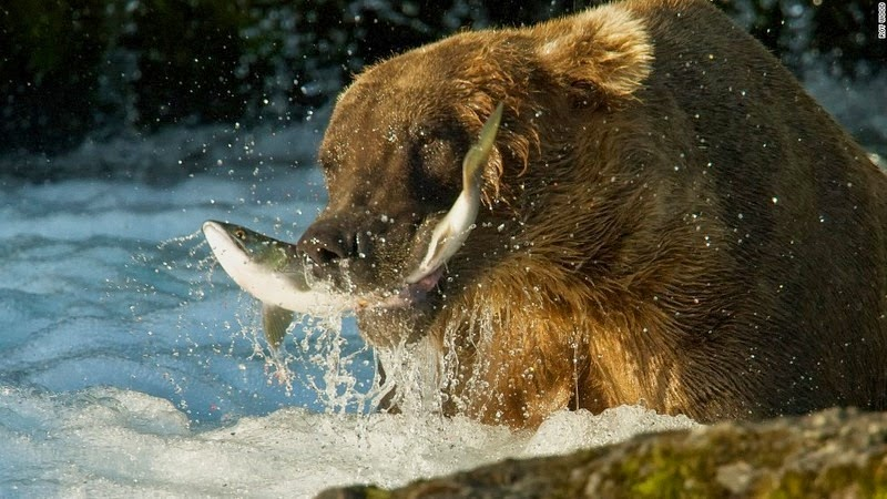 brooks-falls-bears-3