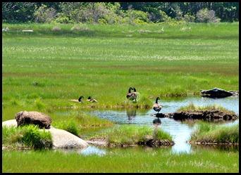 03r - Laird-Norton BoardwalkTrail - geese
