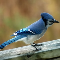 blue-jay-facts2