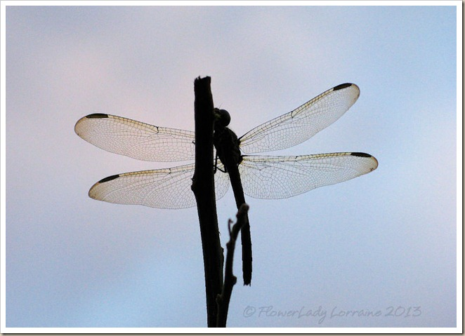 01-20-dragonfly2