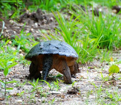 6. old man turtle-kab