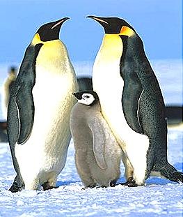 Aptenodyts-Penguin