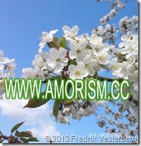 DSC07234 VITA KÖRSBÄRSBLOMMOR MED AMORISM