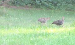 turkey babies2