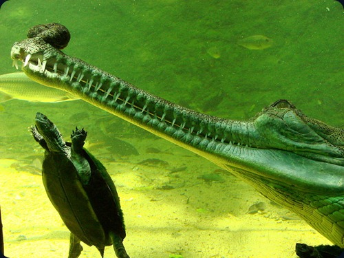 Gharial_and_Turtle_at_the_Crocodile_Bank_-_Mamallapuram_-_India