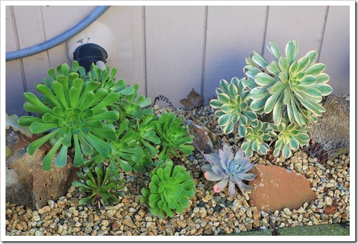 130126_Aeoniums-in-backyard_04