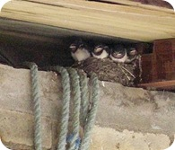 4 baby swallows