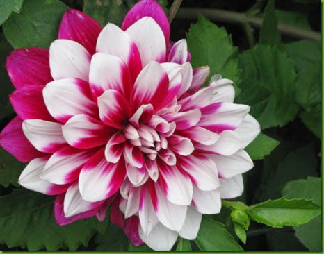 Dahlia Color Doble