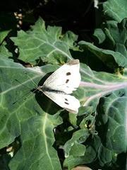 Papillon de choux