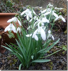 Drm C snowdrops