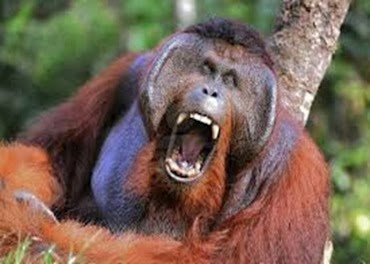 Amazing Pictures of Animals, Photo, Nature, Incredibel, Funny, Zoo, Bornean orangutan,Pongo pygmaeus, Primates, Alex (18)