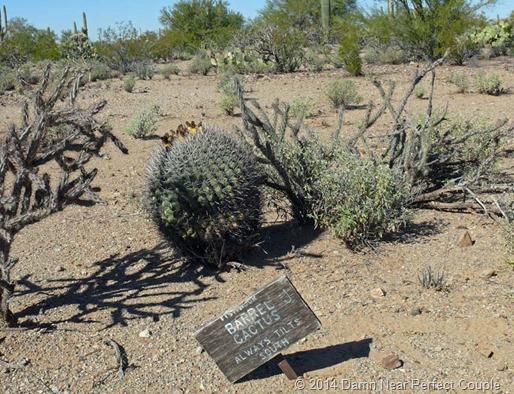 Leaning Barrel Cactus