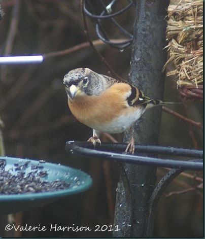brambling-2