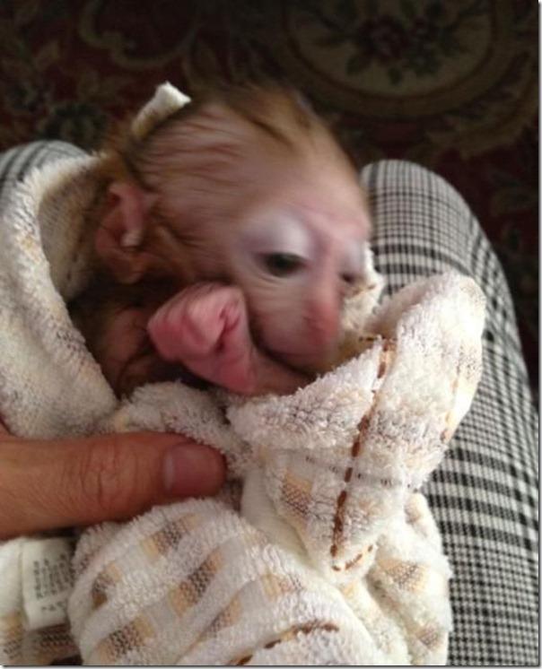Macaco bebe adora tomar refrigerante (9)