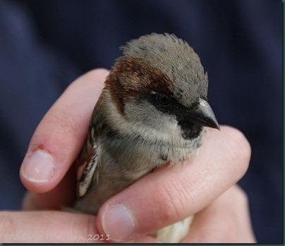 11-Sparrow