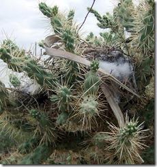 fuzzy cactus wren nest 1 9-10-2012 9-34-41 AM 1797x1910