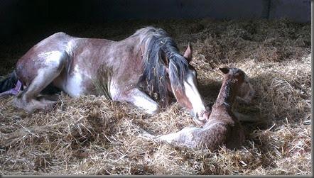 rosie foal