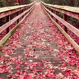 Walkway of red leaves-1.jpg