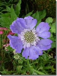 bhd scabious