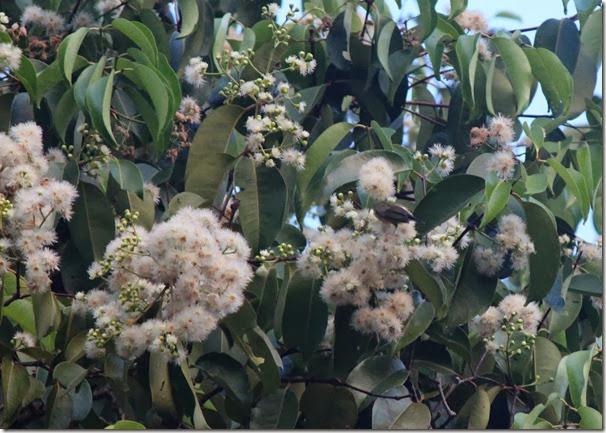 syzygium grande flowers