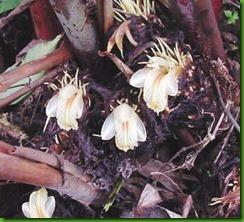 Amomum subulatum