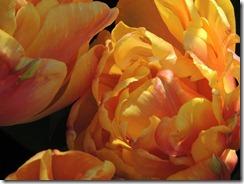 Freeman Tulip