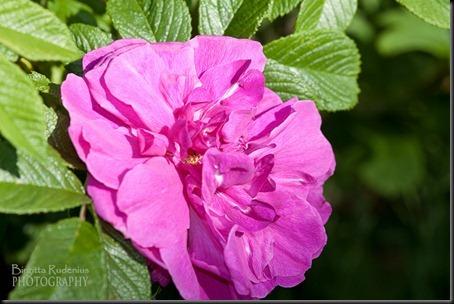 blom_20120612_rosarugosa