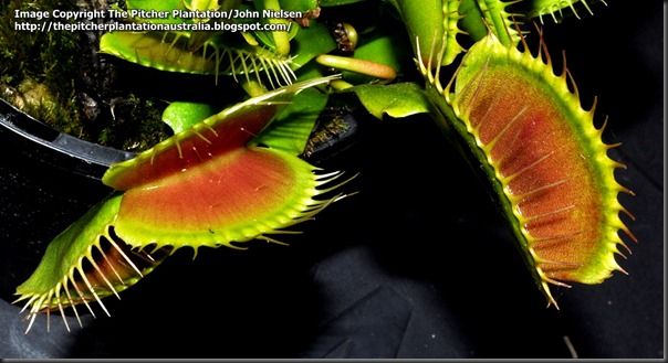 The patient, ever hungry mouth of a Venus' Flytrap.