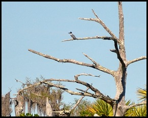10 - Belted Kingfisher
