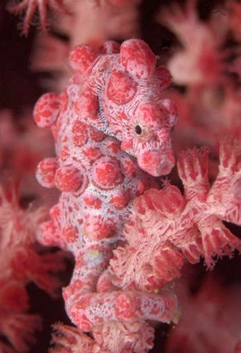 Amazing Pictures of Animals, Photo, Nature, Incredibel, Funny, Zoo, Pygmy seahorse,  Syngnathidae ,Alex (24)