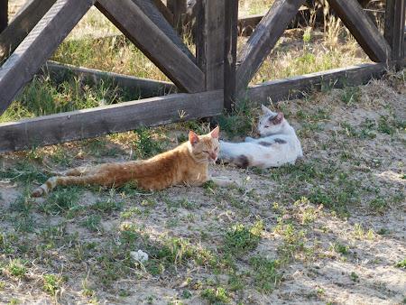 Pisici de Iordania
