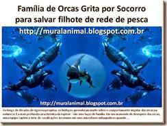 Família de Orcas Grita por Socorro_thumb[1]