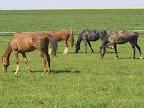 Long John,A1/1, u nás ustájen od 25.11.2006 do 28.10.2007, dán po úrazu jako společník k jinému koni do Třebíče(úplně vlevo).