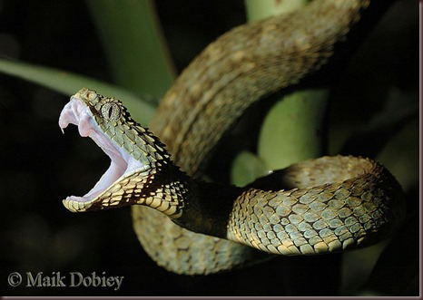 Amazing Animals Pictures The Bush Viper (10)