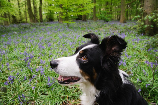 Jake amongst the Bluebells at Marbury Country Park