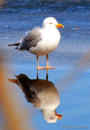 9. herring gull on ice-kab
