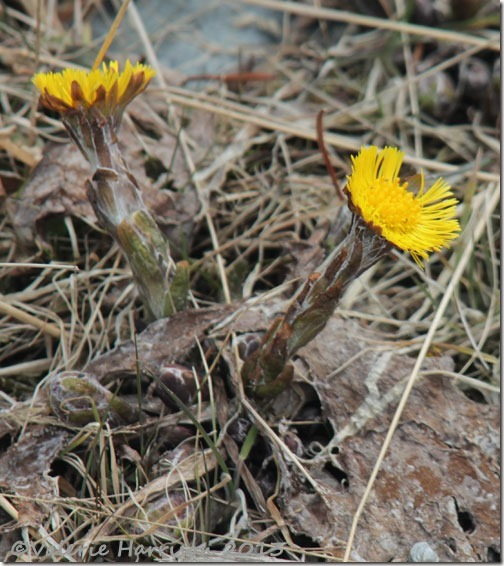 31-coltsfoot