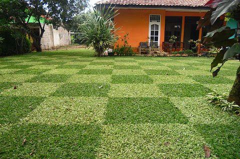 Paduan rumput gajah mini varigata