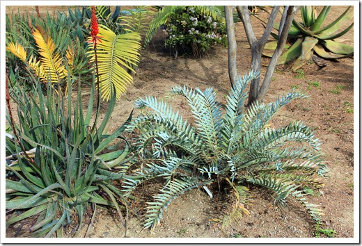 130202_UCDavis_Encephalartos-horridus_02