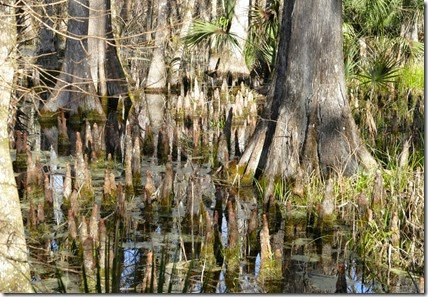 silver_springs_swamp_trail_cypress_knees