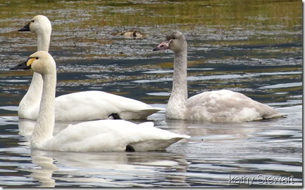 Two Adults and one young Tundra Swan