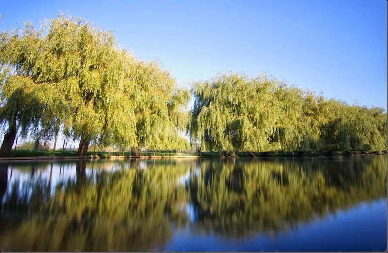 Willow trees at Lower Lake