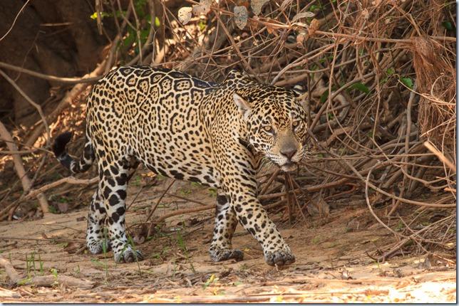 Jaguar-7
