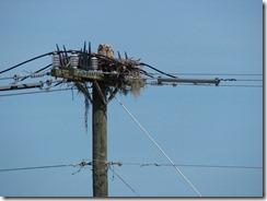 Owlet pair 1