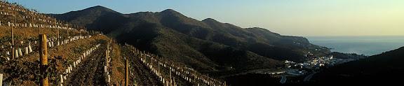 Vinyes joves sobre ColeraDO Empordà, l'AlberaColera, Alt Empordà, Girona2003.11